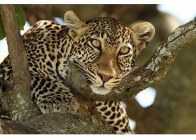 树上的豹子