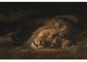 树荫下躺着的雄狮