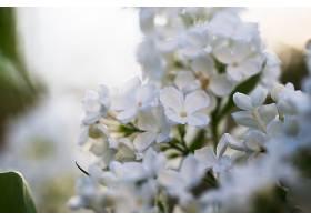 清新的丁香花