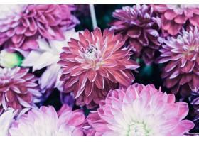 粉红色金盏菊
