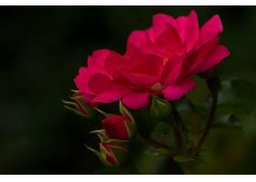 地球,玫瑰,花,巨,芽,花瓣,特写镜头,壁纸,
