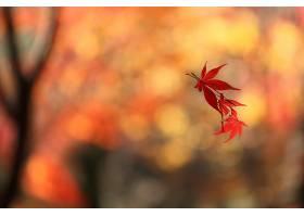 地球,叶子,浮动的,枫树,叶子,秋天,Bokeh,壁纸,