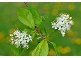 地球,花,花,树枝,花,白色,花,叶子,自然,污迹,壁纸,