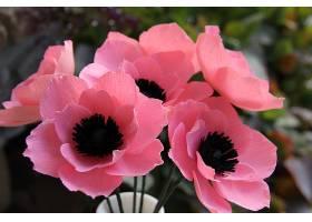 地球,海葵,花,花,粉红色,花,壁纸,(2)
