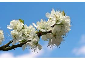 地球,花,花,花,树枝,弹簧,白色,花,壁纸,