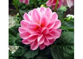 地球,大丽花,花,花,叶子,粉红色,花,壁纸,(1)