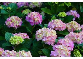 地球,绣球花,花,花,叶子,粉红色,花,壁纸,(1)