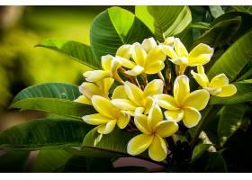 地球,鸡蛋饼,花,鸡蛋花,叶子,绿色的,特写镜头,自然,黄色,花,壁纸