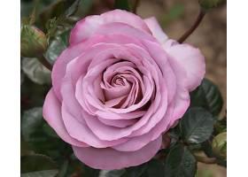 地球,玫瑰,花,花,叶子,粉红色,花,壁纸,(1)