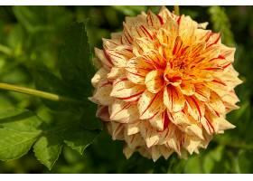 地球,大丽花,花,自然,花,特写镜头,壁纸,