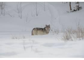 狼,冬天的,雪,野生动植物,食肉动物,壁纸,