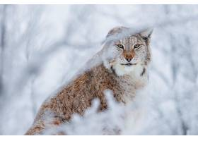 猞猁,猫,冬天的,壁纸,