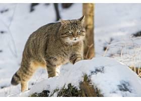 猫,猫,宠物,冬天的,雪,壁纸,(1)