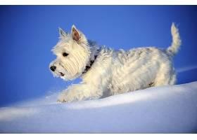 西方的,高地,白色,一种活泼的小狗,狗,雪,冬天的,狗,宠物,壁纸,