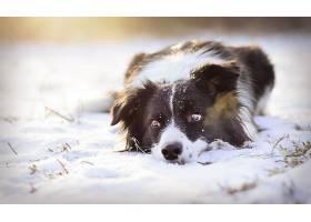 边界,牧羊犬,狗,狗,宠物,冬天的,雪,壁纸,