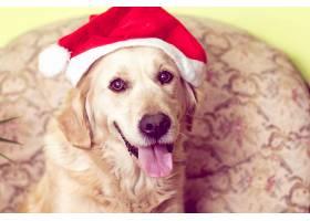 金色的,取回的人,狗,狗,宠物,圣诞老人,帽子,壁纸,