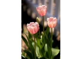 浅粉色郁金香在阳光下发光的美丽镜头_1167827701