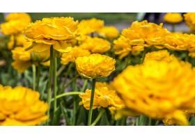 花坛上的毛黄色郁金香花朵和春天的概念_1010806201