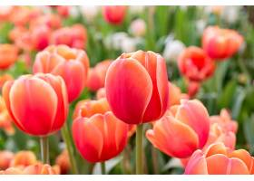 罗勇春季花坛里的红橙色郁金香_113126101图片