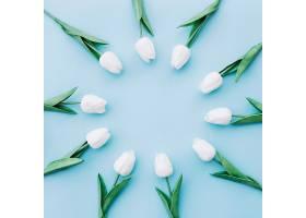 美丽的白色郁金香放在蓝色背景上的圆圈里_251885801