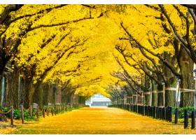 黄色银杏树树行在秋天秋天公园在东京日_10695416