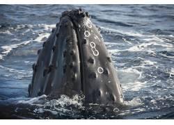 摄影,动物,鲸,波浪,海,口,水382429图片