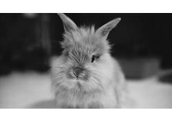 兔,黑色,动物,单色,特写397124
