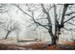 冬季,薄雾,冷,树木,动物,羊630586