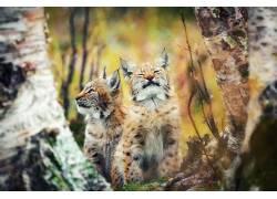 动物,哺乳动物,猫的,猞猁452200图片