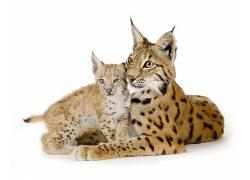 动物,哺乳动物,猫的,猞猁452280图片