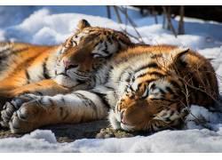 虎,睡眠,放松,动物,雪,大猫602880图片