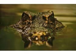 摄影,动物,爬行动物,鳄鱼,水,反射,波浪,看着观众,性质405478图片