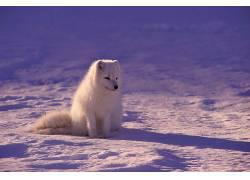 摄影,动物,狐狸,白狐475077图片