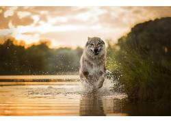 赛跑,狗,性质,水,动物561656图片