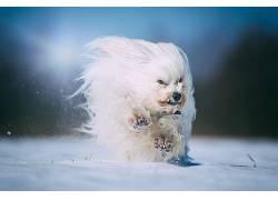 雪,白色,赛跑,狗,动物629937图片