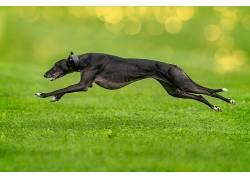绿色,赛跑,狗,动物569058图片