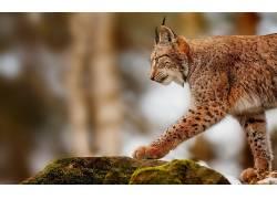 猞猁,动物,性质501859图片