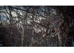 猞猁,科,大猫,树木,动物689951图片