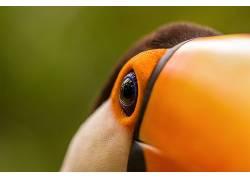 鸟类,动物,巨嘴鸟389007图片