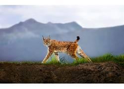 动物,猞猁542448图片