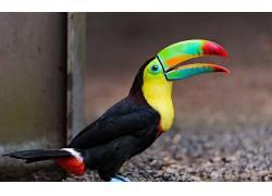 巨嘴鸟,鸟类,动物4161图片