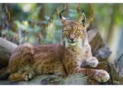 动物,野生动物,性质,猞猁207066图片