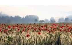 领域,花卉,红色的花朵,植物,罂粟637421