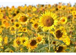 领域,花卉,黄色,黄色的花朵,向日葵566075