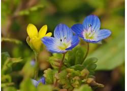 黄色,绿色,蓝色,壁纸,植物,蓝色的花朵,黄色的花朵,花卉548252