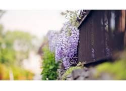 开花,花卉,篱笆,紫色的花朵,壁纸,景深,紫藤288916