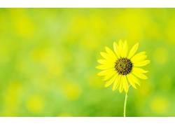摄影,植物,壁纸,宏,花卉,向日葵329336