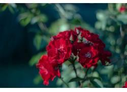 景深,花卉,红色的花朵,壁纸227978