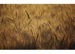 摄影,植物,壁纸,领域,小麦,景深325945