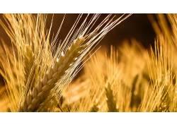 小麦,壁纸,植物,阳光,宏3210